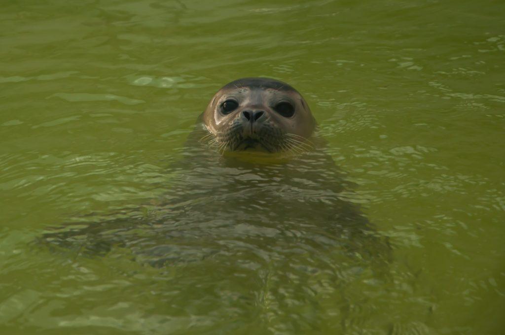 tips voor Rockanje - zeehondje bij zeehondenopvan A-Seal