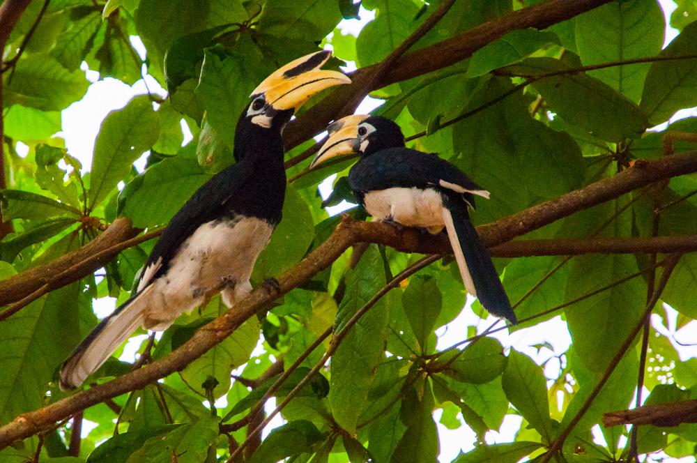 route door Maleisië - Hornbills op Pangkor