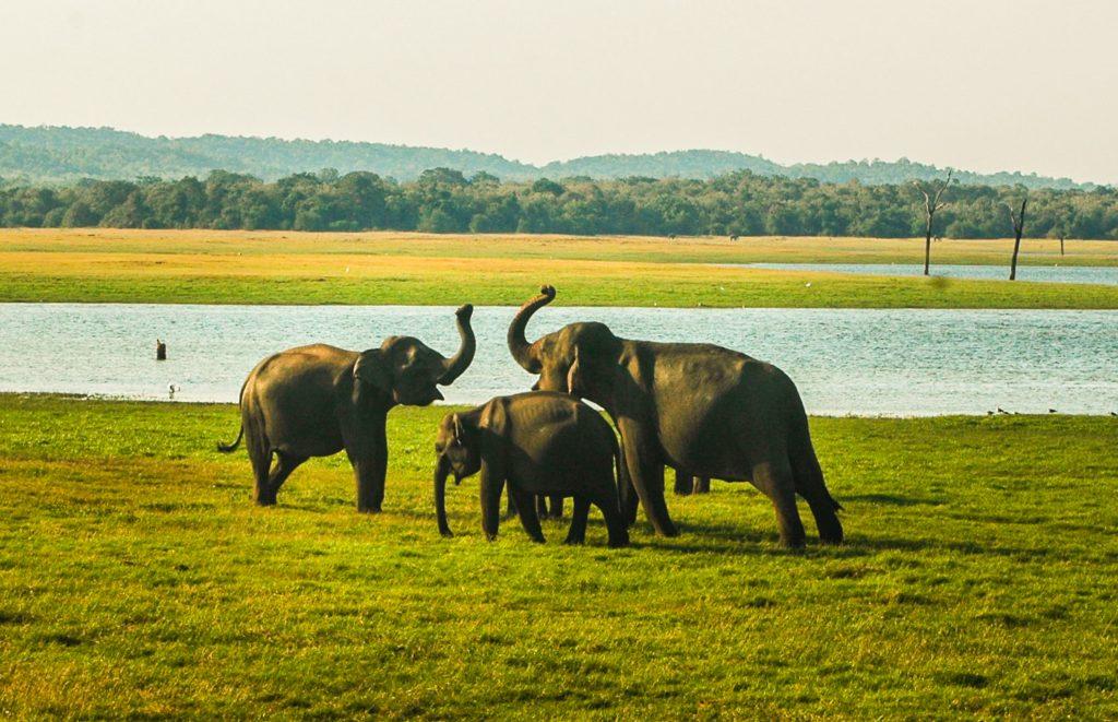 doen in Sri Lanka - olifanten in nationaal park