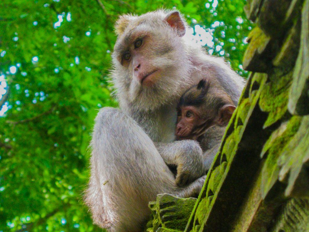 vaccinaties voor onze wereldreis - monkey forest in Ubud, Bali